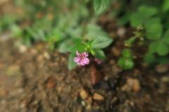 ดอกผักแว่น (kobpan) Tags: