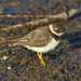 Common ringed plover, Charadrius hiaticula, at Marievale Nature Reserve, Gauteng, South Africa