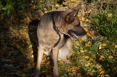 Осенняя фотомодель  . (Angelok-Happy) Tags: айра собака овчарка осень фотомодель красотка photomodel dog breedshepherd