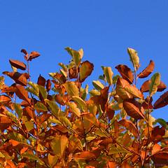 autumnal (amazingstoker) Tags: autumn • leaf leaves evening low sun blue sky orange magnolia tree deciduous square basingstoke amazingstoke basingrad hampshire colour contrast branch