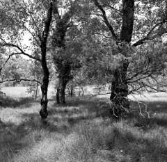 threesome (salparadise666) Tags: zeiss ikon super ikonta b tessar 80mm fomapan 100 boxspeed caffenol rs 15min nils volkmer vintage medium format folding analogue film camera square 6x6 landscape france ardeche bw black white monochrome