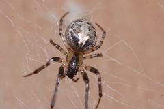 Zygiella x-notata Arachtober 29 (Procrustes2007) Tags: spider zygiella zygiellaxnotata missingsectororbweaver arachnid arachtober nikond50 sudbury suffolk uk macro