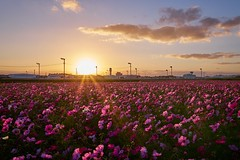 Fleurs de cosmos Paysage du soir japan (nishinaoya1) Tags: wideanglelens sony a7 ilce7 sigma 19mm f28 emount landscape bluesky buildingphoto fullflame α7 cluteramaryllis red flower landscapephoto ソニー アルファ7 風景 彼岸花 higanbana pinkflowers nature plant blur bokeh snapshot countryside townscape waterside lake everyday canvention wetland waterfront magichour magictime tyavel settingsun evening cloud scenry shaftoflight beamoflight sunlight landschaft paysage punggyeong localline kyushu dieseltrain people stasion clusteramaryllis rain rainyday wetday drop fog mist violet maple freshgreen fleurs de cosmos fleursdecosmos