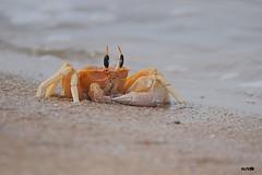 Ghost Crab (harshithjv) Tags: crab marine beach ocypode brevicornis crustacean crustacea malacostraca decapoda brachyura ocypodidae ocypodinae canon 600d tamron bigron macro
