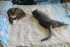 Gracie and Millie 19 September 2018 0978Ri 4x6 (edgarandron - Busy!) Tags: cat cats kitty kitties tabby tabbies cute feline gracie patchedtabby millie graytabby