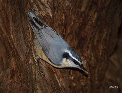 Red-breasted Nuthatch (jt893x) Tags: 150600mm bird d500 jt893x nikond500 nuthatch redbreastednuthatch sigma sigma150600mmf563dgoshsms sittacanadensis songbird alittlebeauty coth thesunshinegroup coth5 sunrays5