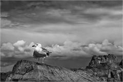 Seagull  - Brittany (suignard bruno) Tags: gull seagull goèland bird oiseau bretagne brittany ploubazlanec cotedarmor pointedelarcouest paimpol iledebrehat france nb bw noiretblanc monochrome animal blackandwhite brunosuignard cloud nuage ciel sky rock rocher