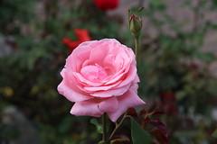Rose (Hugo von Schreck) Tags: hugovonschreck rose flower blume blüte canoneos5dsr tamron28300mmf3563divcpzda010 onlythebestofnature