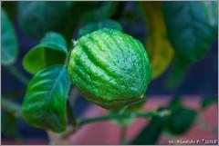 limone.ponzino.green@citrus.it (Rinaldofr) Tags: canon6dmkii canonef24105f4islmkii limone ponzino amalfitano green oscartintori leaf citrus fruit nature