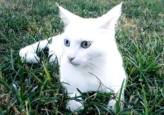 Heterocromia (MwAce) Tags: gato blanco verde cesped hierba heterocromia cat white green blue greenandblue chat chats cats חתול חתולים katze katzen