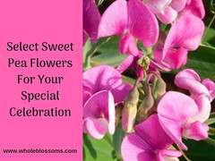 Select Pink and White Sweet Pea Flower colors for Your Bouquet (wholeblossoms1234) Tags: sweetpeaflower pinksweetpeas sweetpeabouquet sweetpeacolor whitesweetpea