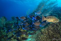 DSC02577_small (benignorco) Tags: acanthuruscoeruleus curacao idd mycteropercamicrolepsis bluetang divesitedirectorsbay fish gaggrouper grouper tang underwater