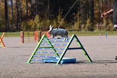 DSC_0074 (klawerjanina) Tags: bunnyjump bunny kani kaniestekisat kanin kaninhoppning