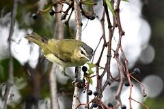 Red-Eyed Vireo (bmasdeu) Tags: bird redeyed vireo hanging tree berry picking kendall florida