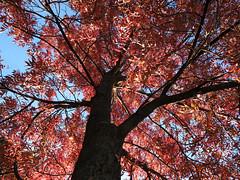 under the canopy (Johnson Cameraface) Tags: 2018 october autumn olympus omde1 em1 micro43 mzuiko 1240mm f28 johnsoncameraface autumnwatch ysp yorkshiresculpturepark yorkshire tree red leaves