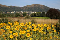 SUNFLOWER FIESTA (Malvern Firebrand) Tags: early morning outskirts malvern worcestershire 10817 flowers yellow sunflowers farming rural countryside scenic view landscape england britain hills 2017 colourful
