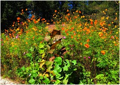 Beautiful Wildflower Garden      Crockett Drive   Marietta, Georgia (steveartist) Tags: gardens wildflowers snapseedfilters stevefrenkel snapseed iphonese trees sky wildflowergarden flowers curbs
