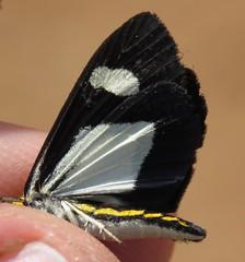 Erbessa cingulina (Birdernaturalist) Tags: bolivia dioptinae lepidoptera moth notodontidae richhoyer