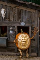 Pumpkin Panic (Maureen Medina) Tags: maureenmedina artizenimages pumpkin carved jackolantern halloween barn western patch comical