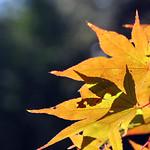 fall yellow ablaze thumbnail
