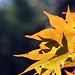 fall yellow ablaze