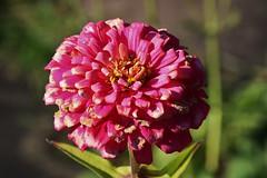 Flower (Hugo von Schreck) Tags: hugovonschreck flower blume blüte macro makro dahlie tamron28300mmf3563divcpzda010