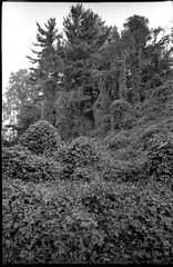 Kudzu-covered landscape, Asheville, North Carolina, Olympus XA4, Kodak TMAX 400, Ilford Ilfosol 3 developer, 10.24.18 (steve aimone) Tags: kudzu trees landscape invasivevegetation asheville northcarolina olympusxa4 compactcamera kodaktmax400 ilfordilfosol3developer 35mm 35mmfilm film blackandwhite monochrome monochromatic