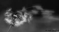 Gone with the wind! (vhb_price) Tags: dandelion wind seeds