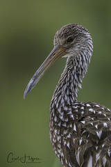 Portrait of a LImpkin... (Carol Huffman) Tags: outdoors nature wildlife birds limpkin florida fl portrait