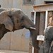 African Elephant (Knoxville Zoo)