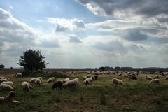DSC04086 (imanh) Tags: iman heijboer imanh schaap sheep heather heide nature natuur dwingelderveld