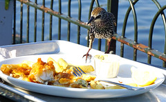 with a blink of an eye the chip was gone (surreyblonde) Tags: starling europeanstarling sturnusvulgaris bird avian wildlife parklife animal nature london uk sony a6000 hearts arrows plummage luminescent thief fish chips scavanging sneaky water lake blue