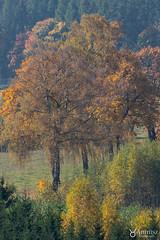 Polish golden fall (anmisz) Tags: golden fall trees masuria landscape autumn