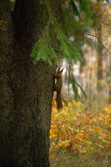 Treehugger (Mygii) Tags: squirrel wildlife autumn mikkeli finland nature