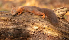 Sunbathing (Steve Samosa Photography) Tags: liverpool england unitedkingdom gb redsquirrel squirrel nature wildlife forest formby woodlands pineforest autumn autumntrees