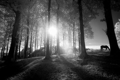Where the wild horses grow (gambajo) Tags: horse horses trees woods sun sunlight warm flare shadows contrast beam ray infrared infrated infrarot surreal pferd pferde