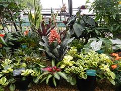 Exotic Plants, Botanic Gardens, Inverness, Oct 2018 (allanmaciver) Tags: exotic plants inverness botanic glass house warm walk enjoy greens shades variety scotland highlands allanmaciver