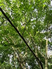Juglans cathayensis (wallygrom) Tags: england westsussex haywardsheath handcross nymans nymansgarden nt nationaltrust
