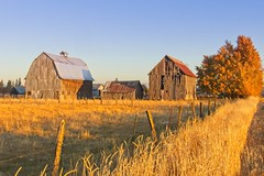 Barns Late Autumn Day 161 B (jim.choate59) Tags: on1pics jchoate barns autumn fallseason goldenhour rural field fence tree landscape grass golden hff