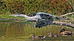 The Arrow (Vidterry) Tags: heron blueheron greatblueheron gbh cedarlake supersonic handheld