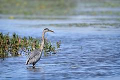 Le grand héron (Lucien-Guy) Tags: oiseau grandhéron parcdelarivièredesmilleîles québec ardeaherodias river rivière
