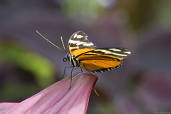 Butterfly 2018-87 (michaelramsdell1967) Tags: butterfly butterflies nature macro animal animals insect insects closeup upclose bokeh vivid vibrant colorful orange white lovely beauty beautiful detail delicate leaf gaeden longwing bug wing wings fragile black zen