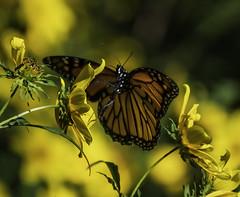 MonarchButterfly_SAF7590 (sara97) Tags: danausplexippus butterfly copyright©2018saraannefinke endangered insect missouri monarch monarchbutterfly nature photobysaraannefinke pollinator saintlouis