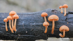 Tubaria (Lucas Gutiérrez) Tags: hongos funghi granadanatural tubaria sp alhama de granada