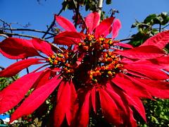 Euphorbia sp...estrella de navidad o flor de Panamá (Oscar Padilla Álvarez) Tags: ecuador