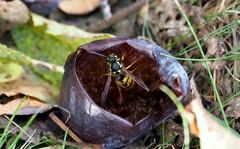 Wespe-obst (Bilder-Kdittmann) Tags: wespe insekten garten
