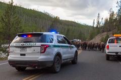 2018-09-trip-3-yellowstone-4-wildlife-mjl-32 (Mike Legeros) Tags: wyoming yellowstone nationalpark bison bisonjam buffaloroam