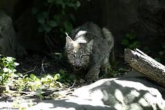 Canada Lynx - Lynx canadensis (HGHjim) Tags: canadalynx lynxcanadensis canada lynx canadensis felidae