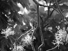 DSC02461 - 000 (phenixliu68) Tags: shrike bird nature 紅尾伯勞 伯勞 候鳥 動物 戶外 野生 生態攝影