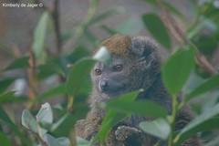 Bamboo lemur, Zooparc Overloon (kimberlydejager) Tags: animal dier dierentuin zooparc zoo overloon nederland thenetherlands nikon d3200 dieren zoogdier